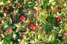 Wild Berries on the Hills
