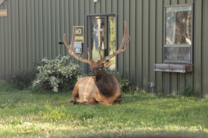Handsome elk on guard duty