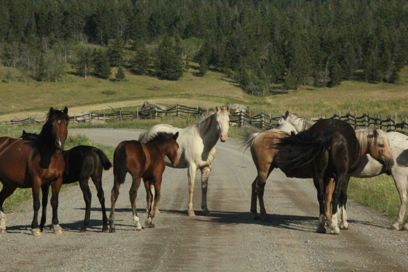 Horse herd blocks road.