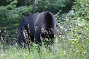 Grizzly near Tweedmuir Park Lodge