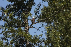 Bald eagle waits for lunch
