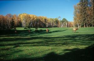 Elk on Fairway